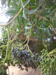 Adoxaceae:  elderberry fruit cluster on tree