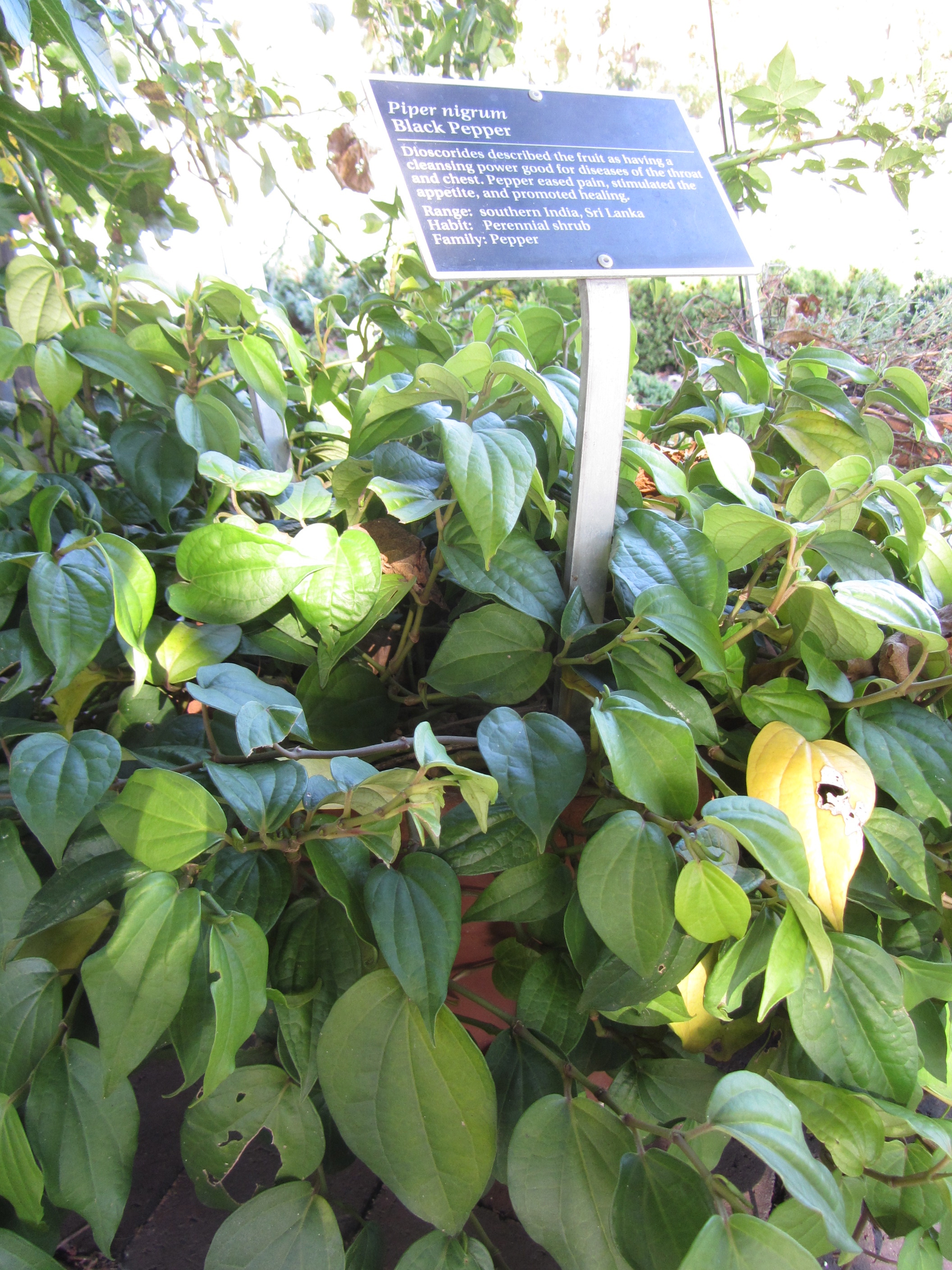 varieties of the pepper experience the botanist in the