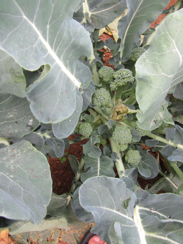 The extraordinary diversity of brassica oleracea the botanist in broccoli plant center head removed mightylinksfo