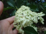 elder flower umbel