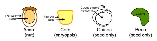 "What is a ""grain"" (caryopsis)?"
