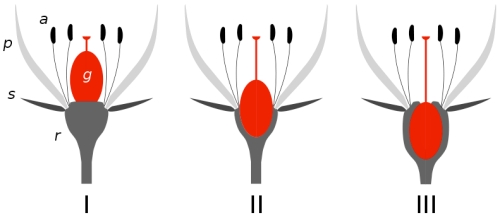 Ovary position diagram: I: superior ovary; II: semi-inferior ovary; III: inferior ovary; receptacle (r), sepals (s), petals (p), and anthers (a) labeled (source: Wikipedia)