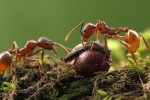 Ants drag bloodroot (Sanguinaria canadensis) seeds by their elaiosomes (photo: Alexander Wild, www.alexanderwild.com)