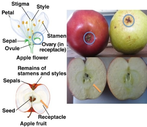 Apple development, from flower to fruit. Blue circle around sepal and persistent calyx on apple and pear; orange arrows pointing to juncture of receptacle and pericarp (diagram from Raymond Milewski, East Stroudsburg University)