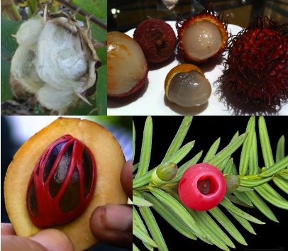 Arils, clockwise from upper left: fluffy cotton arils; Sapindaceae fruits with translucent fleshy arils: lychee (left, peeled and unpeeled), longan (center front, peeled), and rambutan (center back peeled, right unpeeled) (photo: Erin Kurten); red aril on yew seed; red lacy mace aril around nutmeg seed within fruit