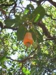 cashew (photo: Forrest Fleishman)