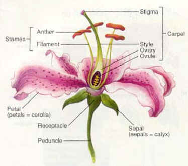 part of a lily diagram not labeled wiring diagram all data Parts of a Calla Lily pomegranates and the art of herbivore attraction the botanist in labeled lily pedicle part of a lily diagram not labeled