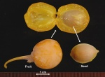 Gingko biloba seed (photo: Oregon State University Dept. Horticulture)