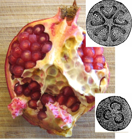 Pomegranate halved longitudinally with digram of cross sections of upper and lower carpel whorls. Notice the persistent calyx and stamens. Diagrams from Watson and Dallwitz (1992).