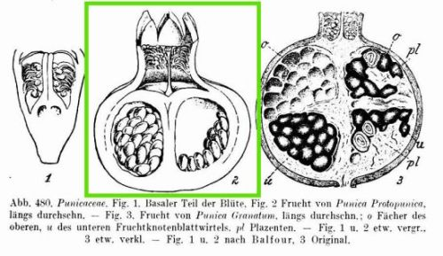 Punica protopunica flower and fruit, P. granatum fruit (Picture modified from Richard Wettstein - Handbuch der Systematischen Botanik (1924) - Permission granted to use under GFDL by Kurt Stueber. Source: www.biolib.de)