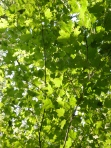 Sugar maple branch growing into a sunny forest gap