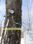 Pressure gauge attached to tap in sugar maple used in vacuum-assisted sap collection.