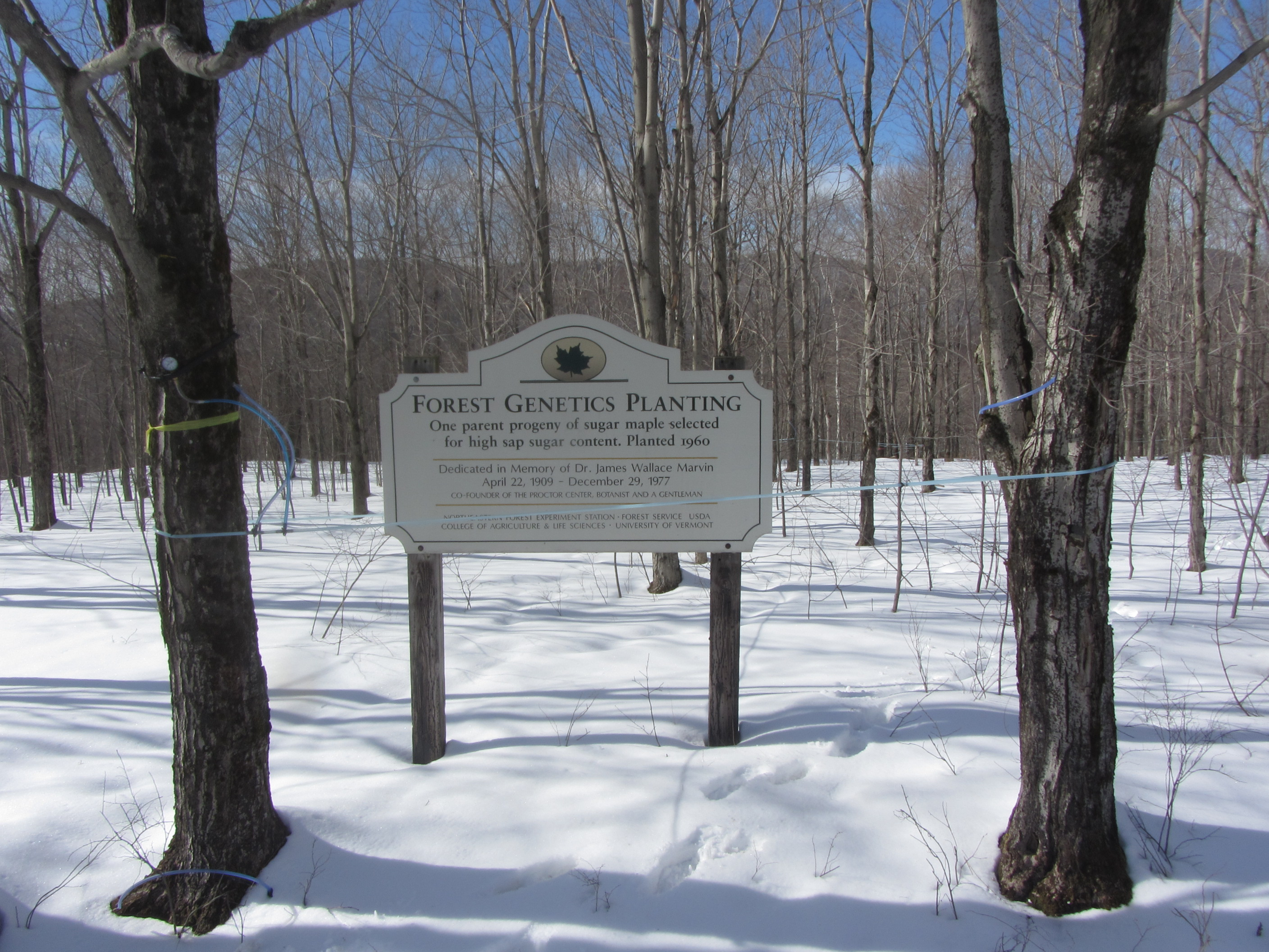 Maple syrup mechanics: xylem, sap flow, and sugar content   The ...