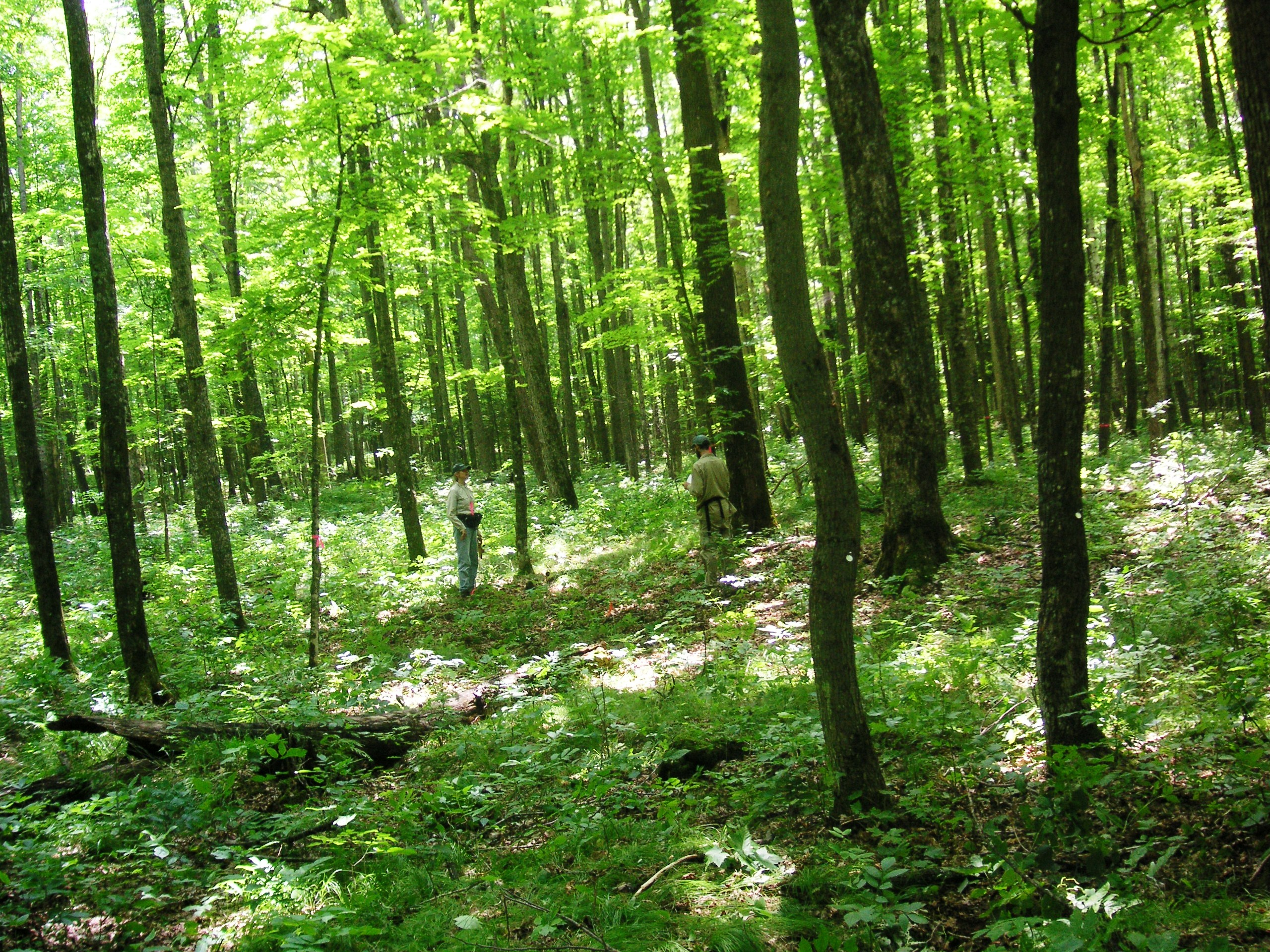 Beech Maple Forest ~ Maple tree forest pixshark images galleries