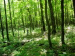 Northern hardwood forest in Wisconsin with shaded sugar maple saplings in understory