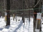 Measuring volume production by sugar maple trees, Proctor research station, Underhill, VT.