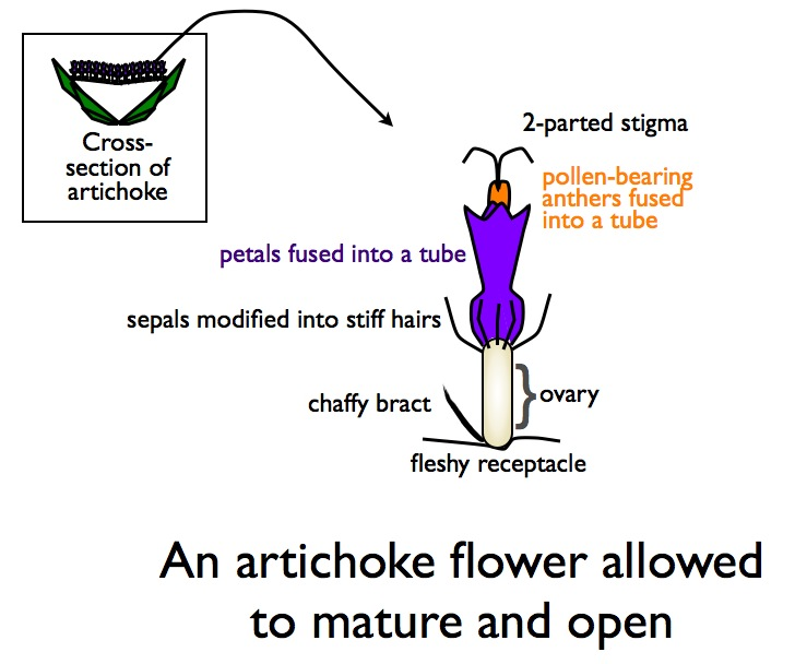 How To Make An Artichoke The Facts About Bracts Part 1 The