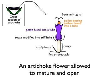 Asteraceae: ArtichokeFlowerDrawing
