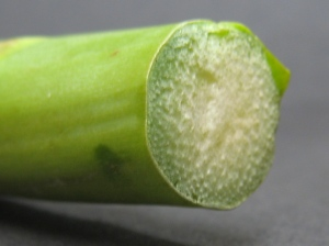 Bottom of an asparagus stem, showing the vascular bundles scattered throughout