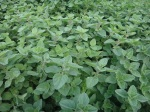 oregano, a mint
