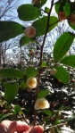 Camelia sinensis--tea--in flower