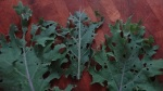 Caterpillars make lace of kale