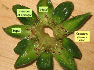 Calyx (ring of sepals) and epicalyx removed and oriented to show stamens