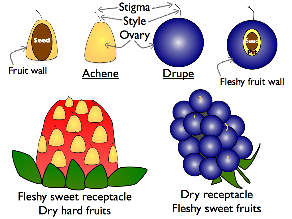 rosaceae: strawberryblackberrydiagram