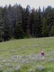 The grey shrubs are big sagebrush (Artemisia tridentata), in Yellowstone National Park.