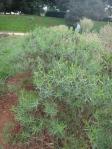 Old tarragon shrubs, Monticello