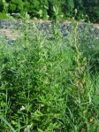 Mugwort (Artemisia vulgaris) growing with Queen Anne's lace and grasses