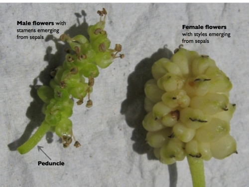 Moraceae: Mulberry Inflorescences labeled