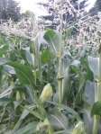 Corn plant. Tassels with male flowers on top, ears with exposed silks in the middle