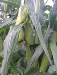 Corn ear with silks