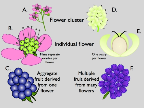 Click to enlarge.  A-C Blackberry.  D-F Mulberry.  Mulberries resemble blackberries, but blackberries derive from a single flower with multiple fleshy ovaries, whereas mulberries derive from multiple flowers, each with a single hard ovary and fleshy sepals.