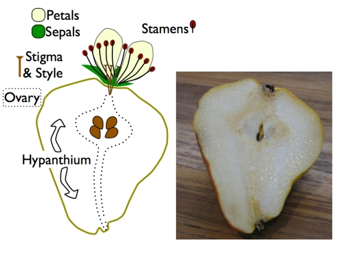 The pear fruit comes from an inferior ovary, buried down inside a fleshy hypanthium.  Flower parts are drawn larger than scale .  Only two petals and three sepals are shown.