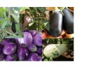 Solanaceae: eggplant collage