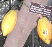 Malvaceae: Theobroma_cacao_fruit3