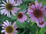 Radially symmetrical purple coneflower (Asteraceae)