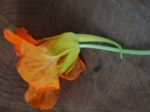 The nasturtium spur contains a very sugary nectar to reward hummingbird pollinators