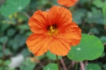 Orange nasturtium. Dark nectar guide stripes visible on upper petals. Photo by T. Wesiger.