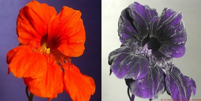 Nasturtium under visible and UV light. Image