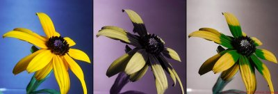 """Yellow coneflower (Asteraceae) as seen by us in visible light, under UV light, and a composite """"bee view"""" image. Image copyright Dr. Klaus Schmitt, Weinheim, Germany."""