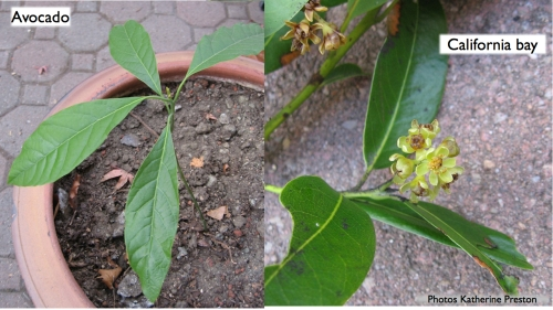 avocado seedling and flowering branch of california bay