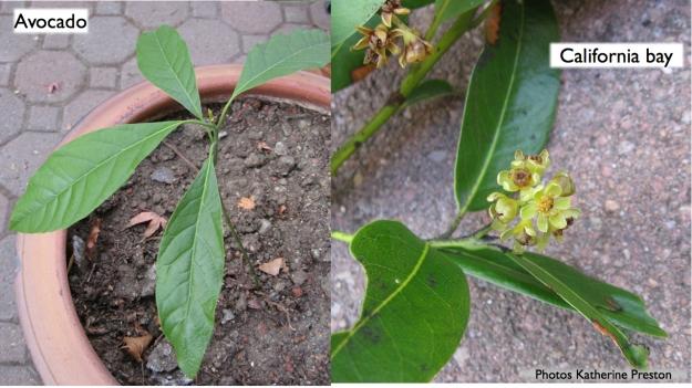 avocado seedling and flowering branch of california bay