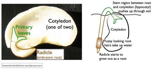 Fabaceae BEP germination