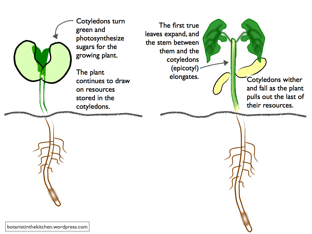 purpose of photosynthesis