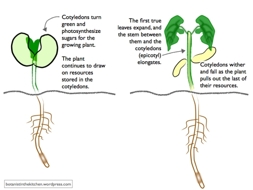 The relationship between a bean seed and the plant it will become