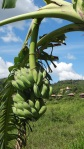 bananas on the plant (Cambodia; photo by L. Osnas)