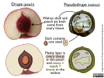 walnuts as pseudodrupes